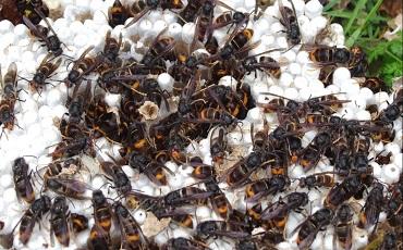 Destruction de nids de frelons asiatiques à Granville